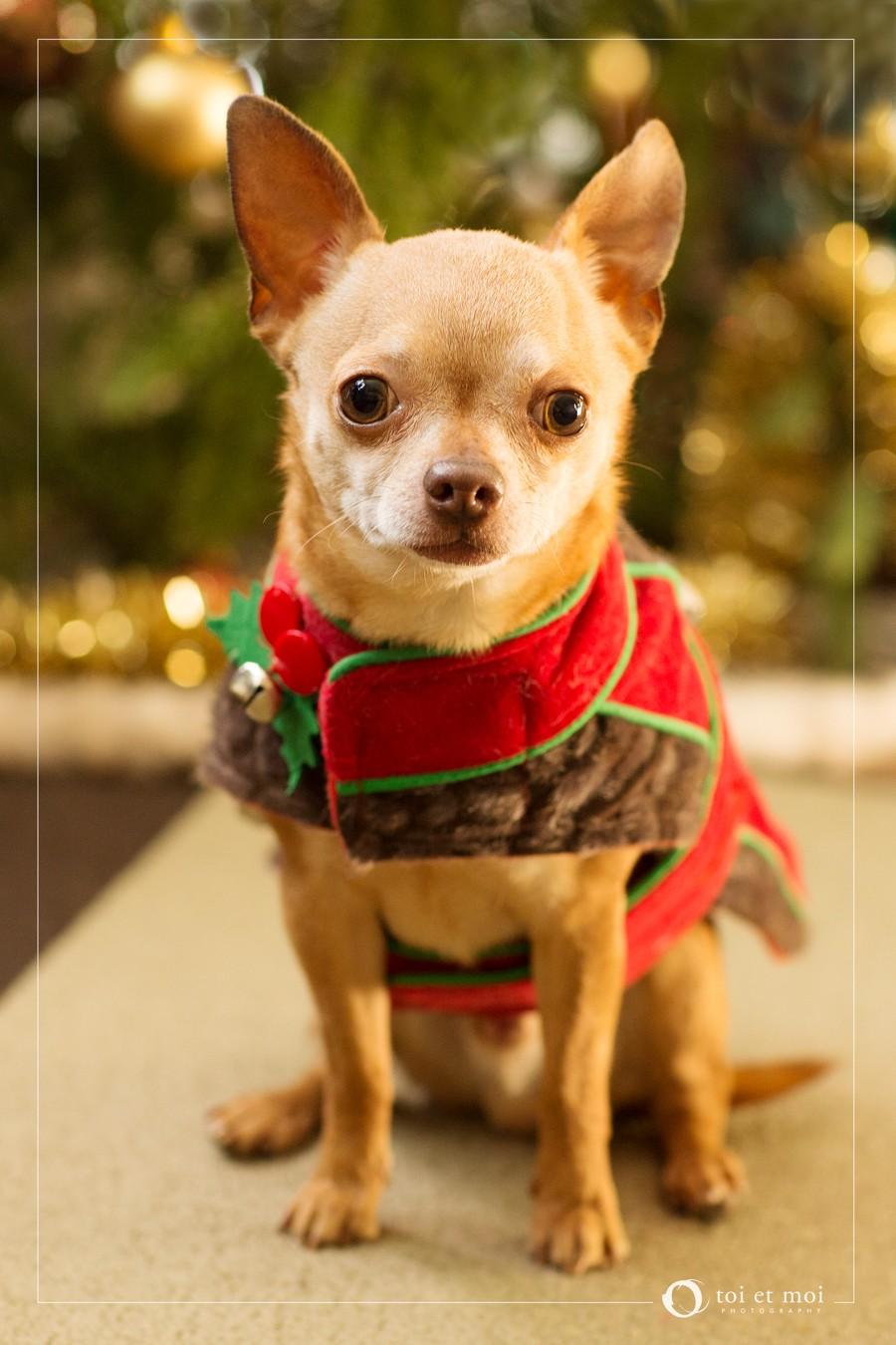 Chihuahua Christmas in Calgary